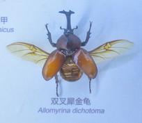 昆虫标本双叉犀金龟
