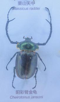 昆虫标本阳彩臂金龟