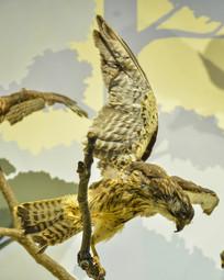 鸟类标本白颊噪鹛