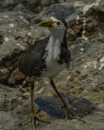 鸟类标本白胸苦恶鸟