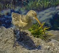 鸟类标本白腰杓鹬