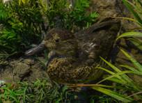 鸟类标本斑嘴鸭