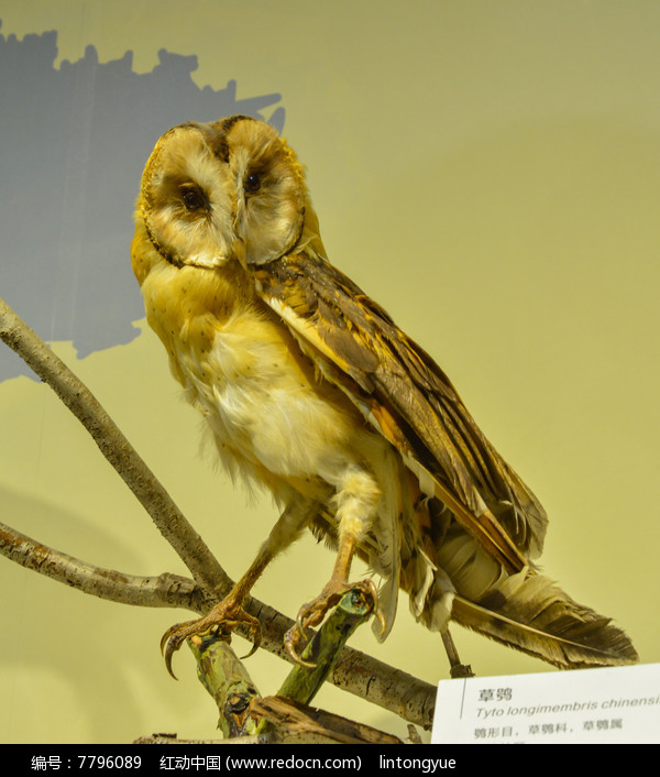 鸟类标本草鸮图片