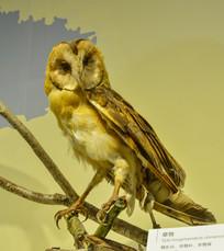 鸟类标本草鸮