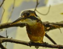 鸟类标本翠鸟