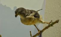 鸟类标本稻田苇莺