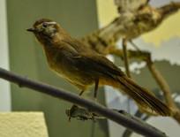 鸟类标本大山雀