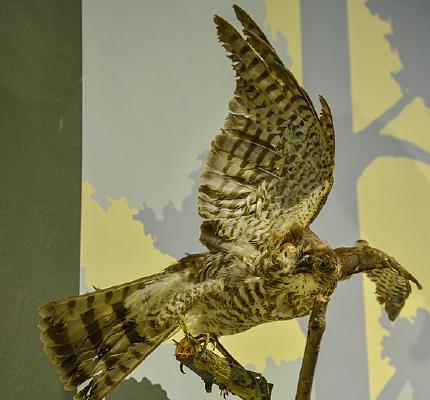 鸟类标本大苇莺