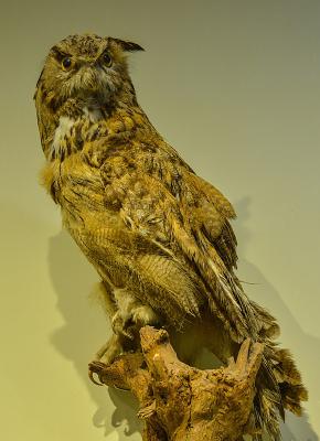 鸟类标本雕鸮