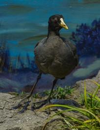 鸟类标本黑水鸡