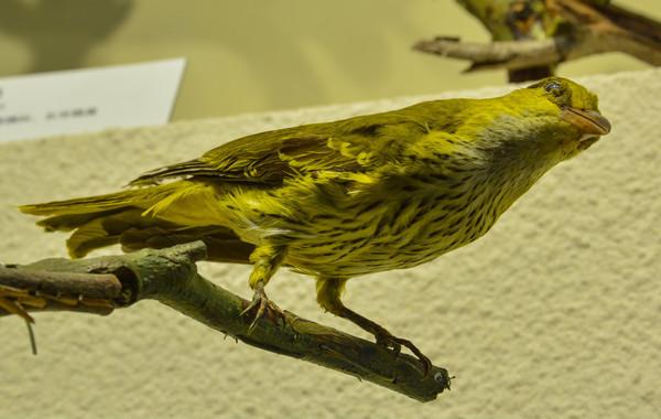 鸟类标本黑枕黄鹂