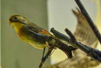鸟类标本红嘴相思鸟