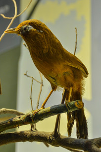 鸟类标本画眉