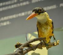 鸟类标本蓝翡翠