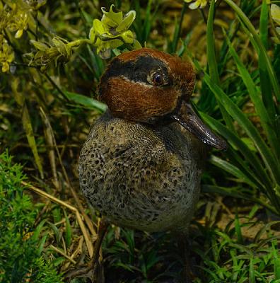 鸟类标本绿翅鸭