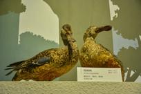 鸟类标本琵嘴鸭