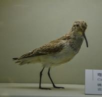 鸟类标本弯嘴滨鹬