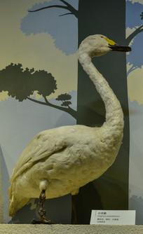 鸟类标本小天鹅