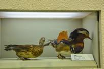 鸟类标本鸳鸯