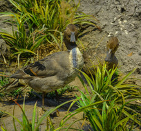 鸟类标本针尾鸭