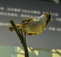 鸟类标本棕背伯劳