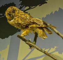 鸟类标长耳鸮
