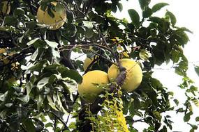 树上的柚子