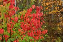 秋天的枫叶树
