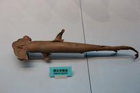 鲨鱼锤头双髻鲨标本