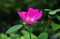 玫红色的花朵