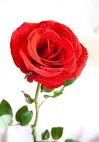 白背景上的红玫瑰