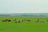 呼伦贝尔草原牛群风景