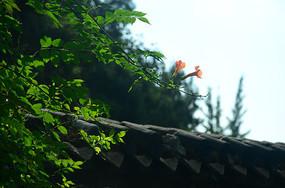 泰安岱庙里的凌宵花开了