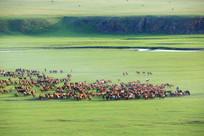 草原上奔跑的马群