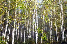 晨雾中的白桦林秋色