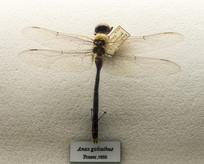 昆虫大蜓属蜻蜓标本