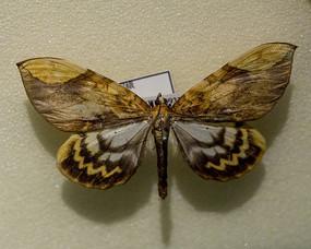 昆虫蛾类黄缘伯尺蛾标本