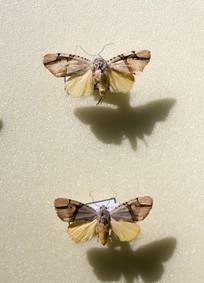 昆虫蛾类闪光玫灯蛾标本