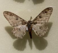 昆虫蛾类乌桕大蚕蛾标本