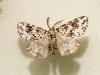 昆虫蛾类斜纹天蛾的标本