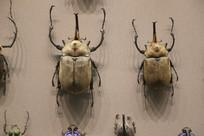 昆虫金龟子标本