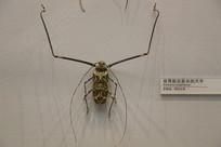 昆虫世界前足最长天牛标本