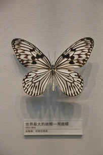 昆虫世界最大蝴蝶帛斑蝶