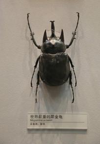 昆虫犀金龟标本