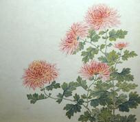 清代关槐《洋菊十六种图》册之孔雀尾