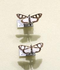 昆虫白斑蛾