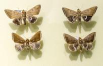 昆虫白腹蛾