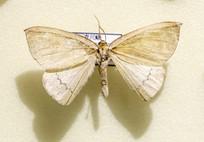 昆虫白纹蛾