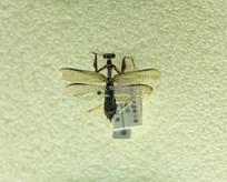 昆虫短腿螳螂标本