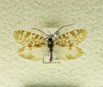 昆虫蛾类凡艳叶夜蛾标本